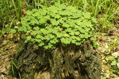 Old tree stump is covered wood sorrel. Common wood sorrel growing on old stump in forest. Old tree stump is covered wood sorrel leaves, top view Royalty Free Stock Photo