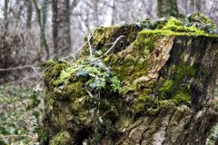 Green tree stump full of vegetation. An old tree stump emerging from it new life, green vegetation moss lichen and other stock photos
