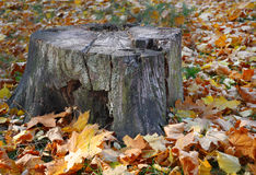 Old tree stump among fallen leaves Royalty Free Stock Images