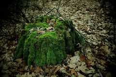 Old tree stump in the forest and foliage Stock Photo