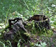 Old tree stump and growing plants in it Royalty Free Stock Photos