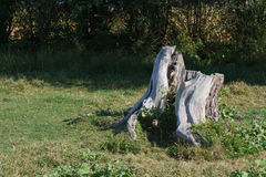 Old tree stump in the meadow in summer Royalty Free Stock Photography