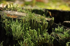 Old tree stump, moss and lichen Royalty Free Stock Image
