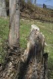 Broken tree stump royalty free stock images