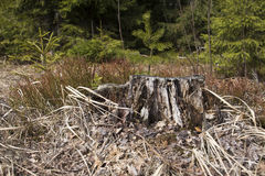 Old tree stump. At the pine forest Royalty Free Stock Photo