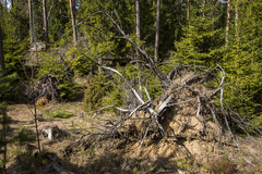Old tree stump. At the pine forest Royalty Free Stock Image