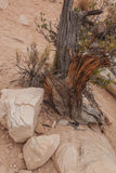 Old Tree Stump and rocks in Red Rock Canyon Stock Photography