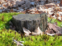Old tree stump surrounded by moss. Old tree stump surrounded by green moss Royalty Free Stock Photos