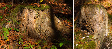 Old Tree Stump in the Undergrowth Stock Images