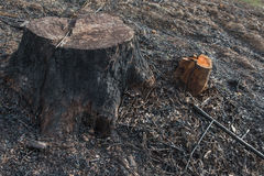 Old Tree Stumps caused by deforestation  and burn. Stock Images