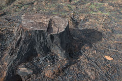 Old Tree Stumps caused by deforestation  and burn. Royalty Free Stock Image