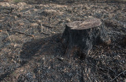 Old Tree Stumps caused by deforestation  and burn. Stock Photography