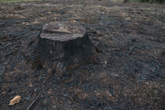 Old Tree Stumps caused by deforestation  and burn. Royalty Free Stock Photography