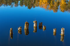 Old tree stumps in water Stock Images