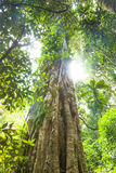Old tree, subtropical rainforest, Lamington national park, Australia royalty free stock photos