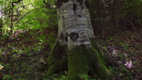 Old Tree in a Sunny Forest. Summer. Dense deciduous forest. Thick trunk of old beech. Sunlight through the leaves stock video