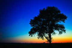 Old tree in sunset Stock Photo