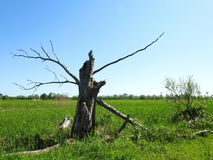 Old tree in swamp, Lithuania Royalty Free Stock Photos