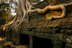 Old tree at Ta Prohm, Siem Reap Stock Photos