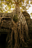 Old tree at Ta Prohm, Siem Reap Stock Images