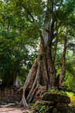 Old Tree at Ta Prohm Temple Royalty Free Stock Image