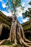 Old Tree at Ta Prohm Temple Royalty Free Stock Photo