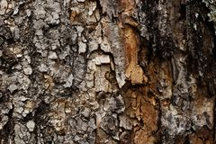 Closeup of old tree trunk texture wood royalty free stock images