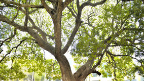 Old tree about thousands years royalty free stock photo