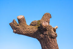 Old tree with trimmed branches on blue sky Stock Images