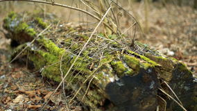 Old tree trimmed with moss. Full HD stock video footage
