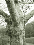 Old tree trunk. Black and white view of old, gnarled tree trunk in park stock photo