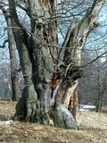 OLD TREE-TRUNK. Old chestnut tree Royalty Free Stock Photography