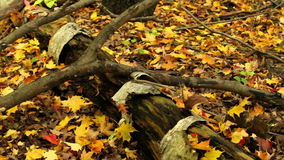 Old Tree Trunk in Autumn. Old tree trunk on the ground in the forest surrounded by Autumn leaves stock footage