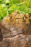 Old tree trunk Royalty Free Stock Photo