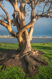 Tree Trunk. Old tree trunk by the coast in California Stock Photos