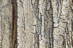Old tree trunk detail texture Royalty Free Stock Images