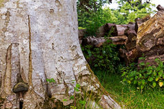 Old tree trunk in forest with chopped wood for fire on background Stock Photography