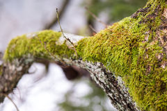 Old tree trunk with green moss and bark Royalty Free Stock Photos