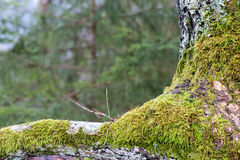 Old tree trunk with green moss and bark Royalty Free Stock Photography