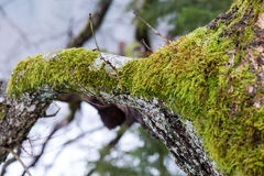 Old tree trunk with green moss and bark Stock Image
