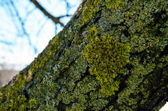 Old tree. On the trunk grows moss and lichen. Close-up Stock Photos