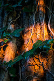 Old tree trunk with ivy on it at sunset Stock Photography