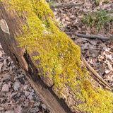 Old tree trunk with lichen on Stock Photos