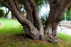 Old tree trunk Royalty Free Stock Photos
