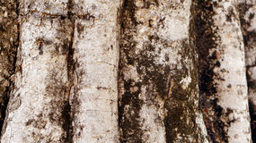 Old tree trunk texture close up Royalty Free Stock Photography