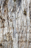 Old tree trunk textured bark. Natural abstract background Royalty Free Stock Photography