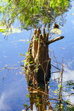 Old tree trunk in tropical swamp Stock Images