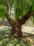 Old tree trunk of a willow. Impressive old tree trunk of a willow tree royalty free stock photo