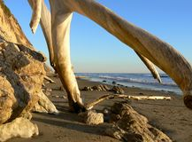 Old tree trunks at beach Stock Image