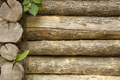 Old tree trunks with leaves. Old pine tree trunks with freen leaves background Royalty Free Stock Photos